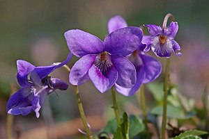 English: Violets on the Flitch Way Sweet Viole...