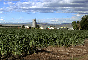 Maize growing in Larimer County