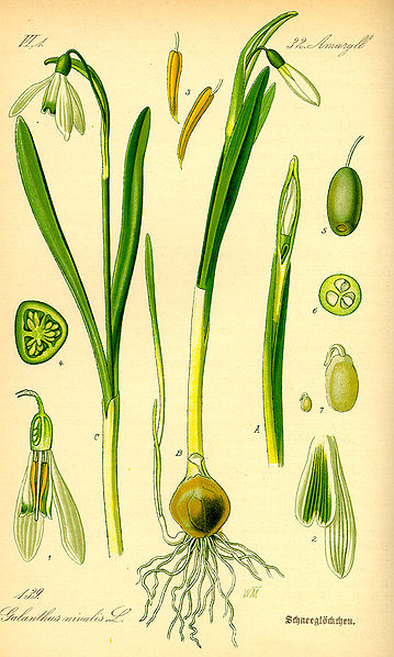old drawing of galanthus nivalis copyright expired from Wiki