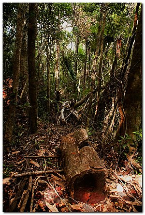English: Illegally felled rosewood log in Maro...