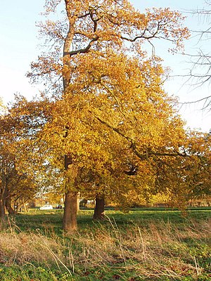 English: Oak trees in autumn, Upwood These are...