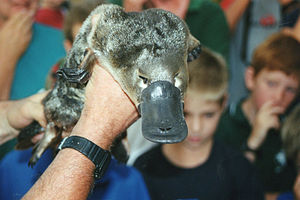 Platypus, shown by a zoologist near the Barwon...
