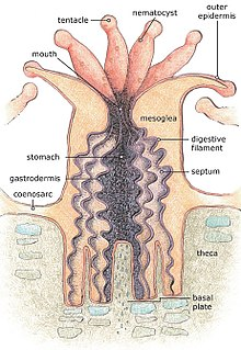 Diagram of a coral polyp, courtesy of wikipedia