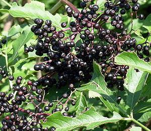 Ripe elderberries (Sambucus) in Rochester, Min...