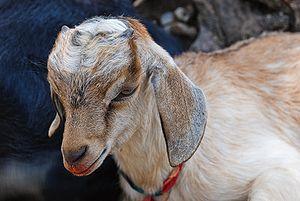 A goat kid (Capra aegagrus hircus) resting und...