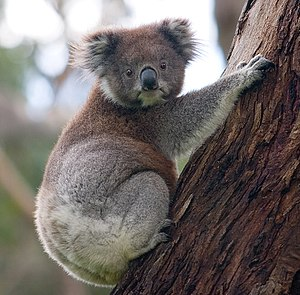 A koala climbing up a tree. Taken on the 28th ...