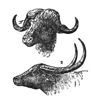 Horn differences between Cape buffalo (above) ...