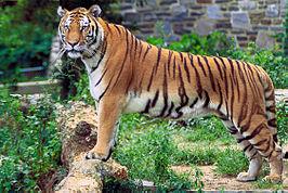 Bengaalse tijger (Panthera tigris tigris)