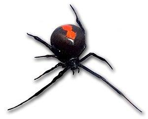 Latrodectus hasselti, the Redback spider