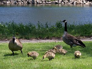 English: Family of Canada geese in Northfield,...