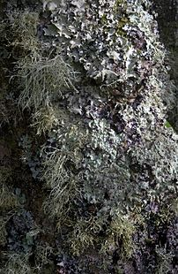 Lichen-covered tree, Tresco, Isles of Scilly, ...