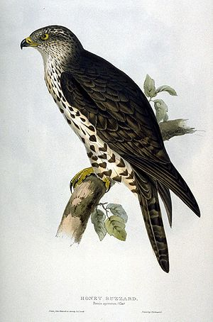 Pernis apivorus (Honey Buzzard) Lithograph wit...