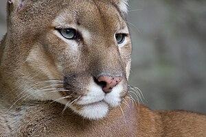 Puma, Belgrade Zoo