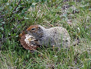 Spermophilus parryii English: An Arctic Ground...