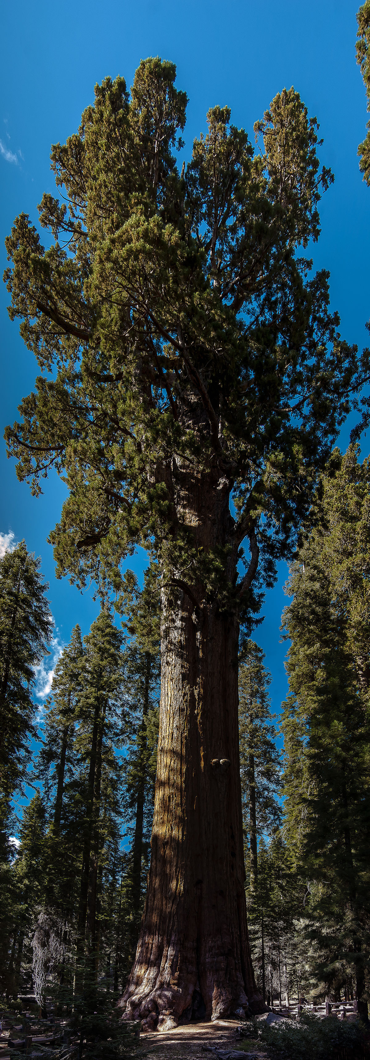 United States - California - Sequoia National Park - General Sherman Tree - Panorama.jpg