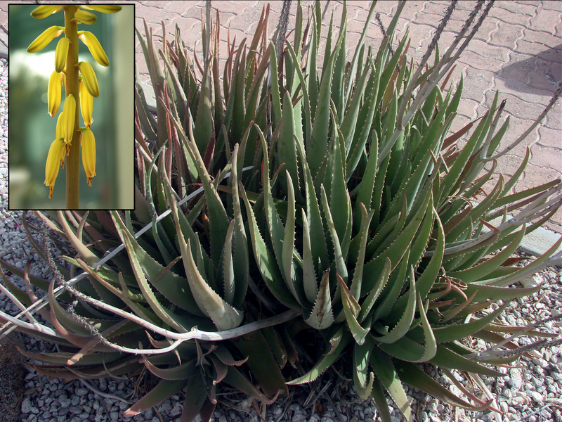 File:Aloe vera flower inset.png