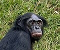 Bonobo-Head.jpg