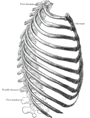 From :en:Gray's Anatomy. The thorax from the r...