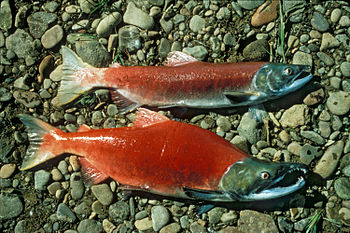 English: Male and female Sockeye salmon (Oncor...