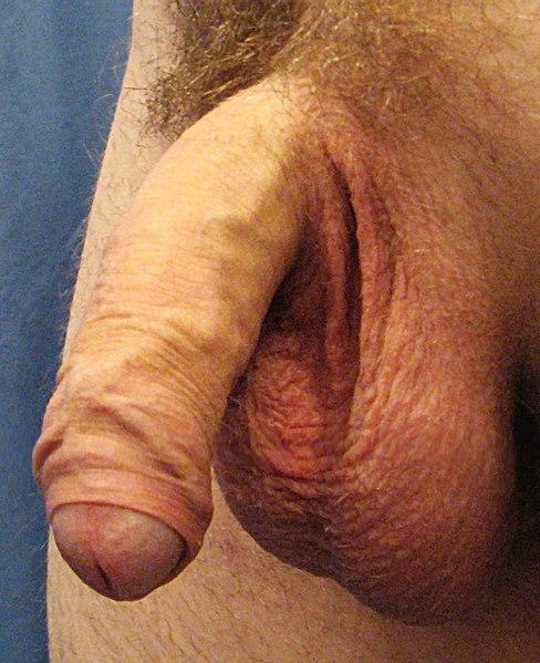 Berkas:A human penis.jpg