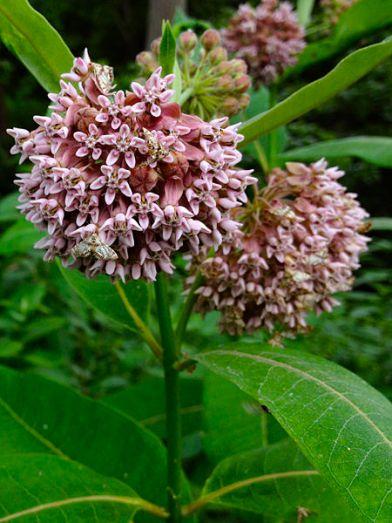 File:Asclepias syriaca - Common Milkweed.jpg