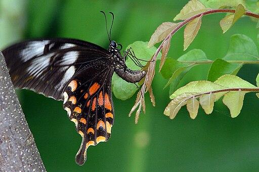 Common Mormon - Papilio polytes