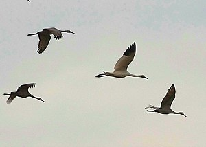 Cranes flying in Michigan, USA. The larger mai...