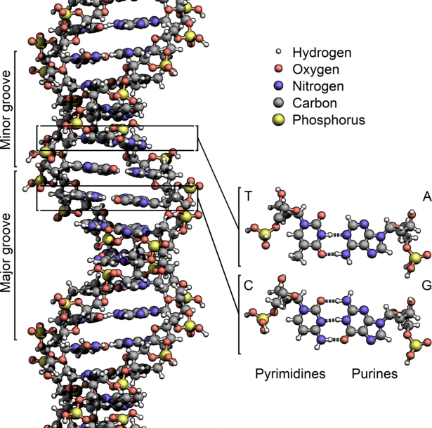 File:DNA Structure+Key+Labelled.pn NoBB.png