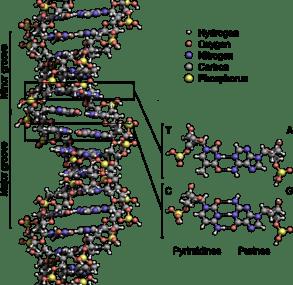 File:DNA Structure+Key+Labelled.pn NoBB.png