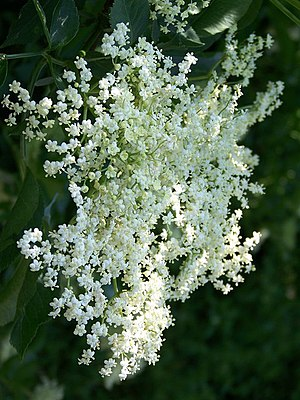 English: Elder flower Elder flower is used in ...