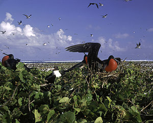 English: Great Frigate Birds (Fregata minor) o...
