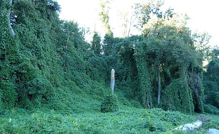 Kudzu in the United States - Wikipedia