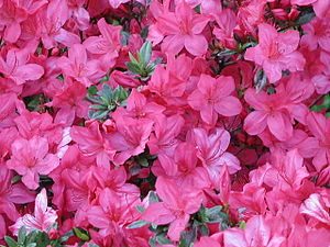 English: Pink Azalea flowers
