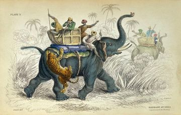 Tiger attacking passenger elephant