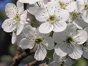 Bradford Pear, closeup of flower cluster, shot 1.