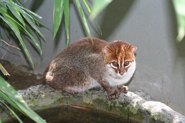 Kucing Kepala Datar Terancam Punah