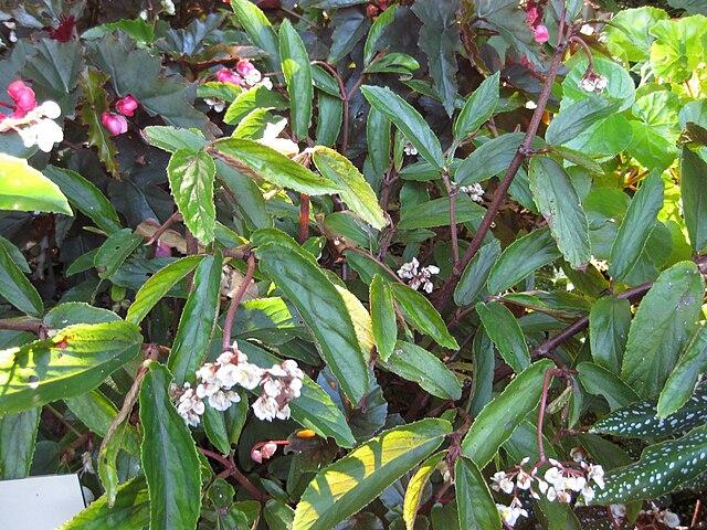Begonia parilis