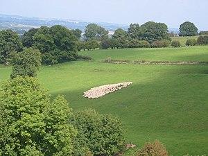 Gathering Sheep. Gathering sheep at a Welsh Sh...