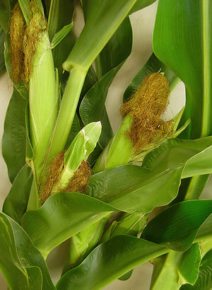 Award-winning stalks of corn or maize (Zea may...