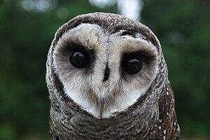 Lesser Sooty Owl (Tyto multipunctata) at Bonad...
