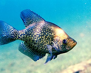 Crappie (Pomoxis nigromaculatus) may be found ...