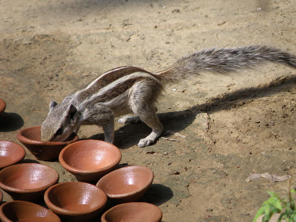 English: A squirrel drinking water in India