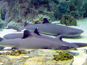Whitetip reef sharks (Triaenodon obesus) in a ...