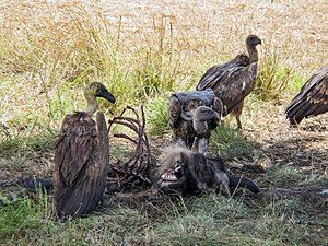 White-backed vultures (Gyps africanus) feed on...