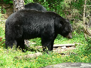 English: Black bear