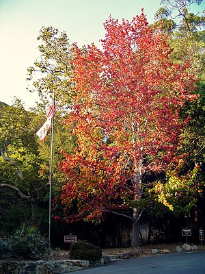 English: Fall foliage in Southern California