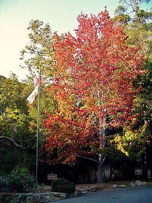 English: Fall foliage in Southern California