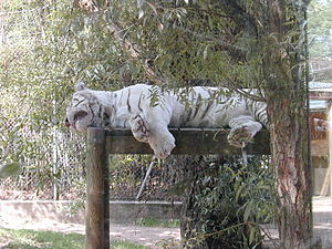 English: White tiger (Panthera tigris) at the ...