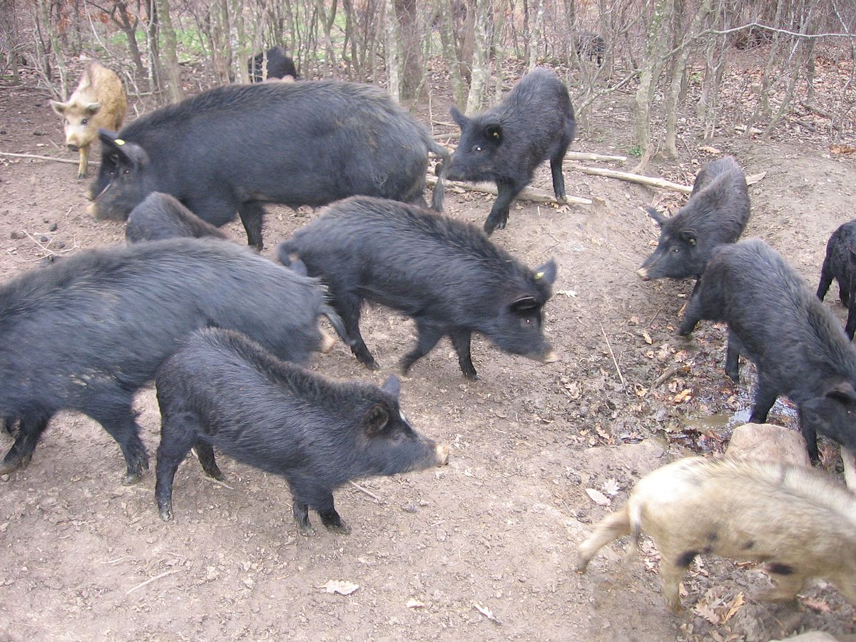 East Balkan Pig Wikimedia Commons