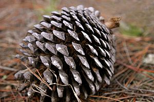A fully mature Monterey Pine cone on the fores...
